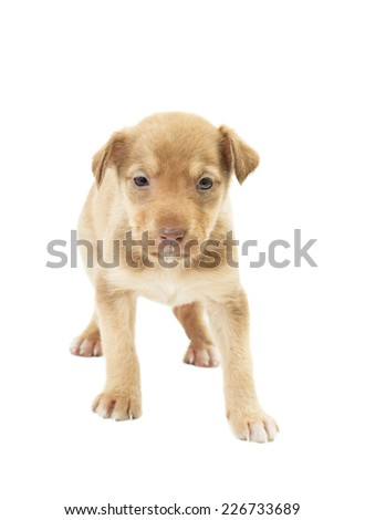 funny cute puppy unsure standing on all fours on a white background