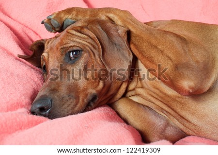 Funny cute rhodesian ridgeback dog laying on a bed on warm pink blanket