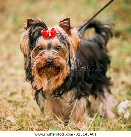 Funny Cute Yorkshire Terrier Small Dog Outdoor - stock photo