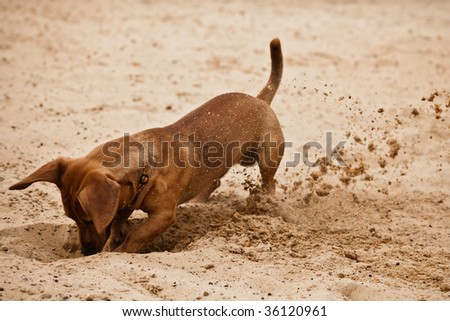 Funny dachshund puppy is digging hole on beach sand - stock photo