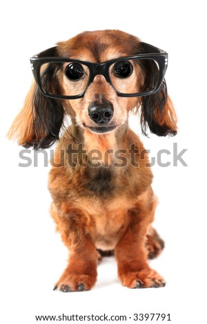Funny dachshund with big eyes, wearing glasses. Part of a creative series featuring the same pup. - stock photo
