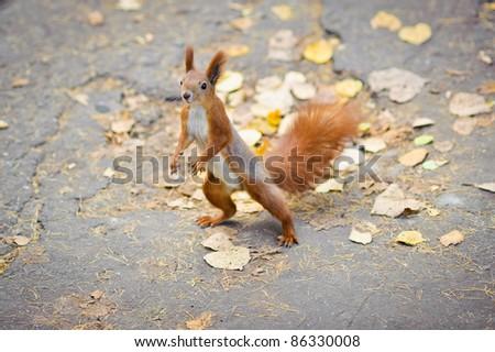 Funny dancing squirrel - stock photo