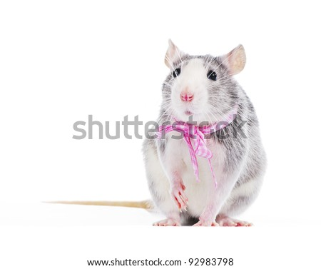 funny decorative rat with pink bow on white background