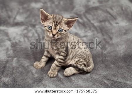 Funny devon rex baby kitten - stock photo