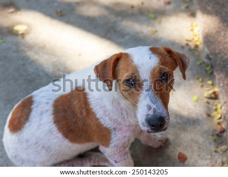 funny dog at home , jack russel - stock photo