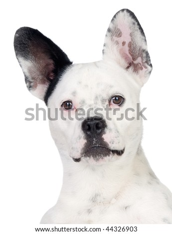Funny dog black and white with big ears isolated