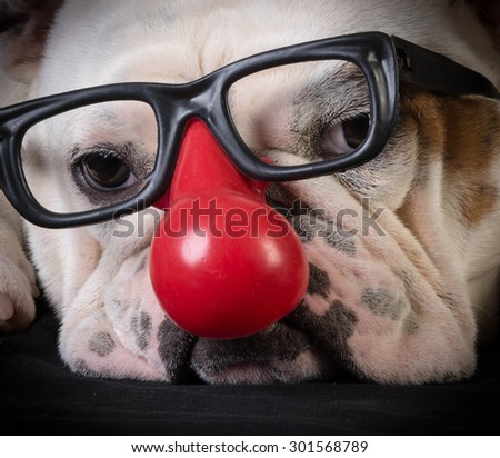 funny dog - bulldog wearing clown glasses and red nose - stock photo