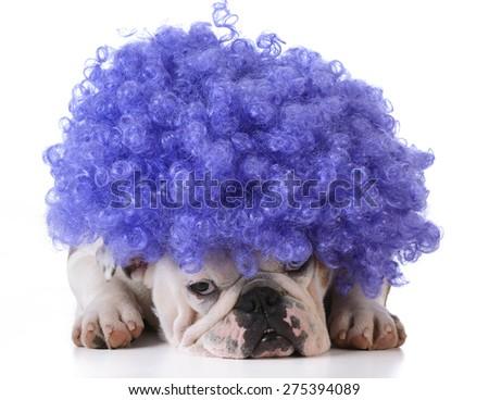 funny dog - bulldog wearing clown wig on white background - stock photo