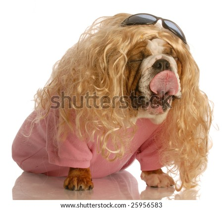 funny dog dressed in drag - english bulldog dressed up as a beautiful blonde woman - stock photo