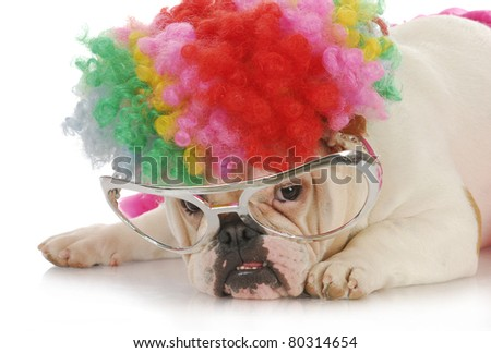 funny dog - english bulldog wearing clown wig and glasses on white background - stock photo