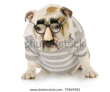 funny dog - english bulldog wearing groucho marx glasses with sulking expression - stock photo