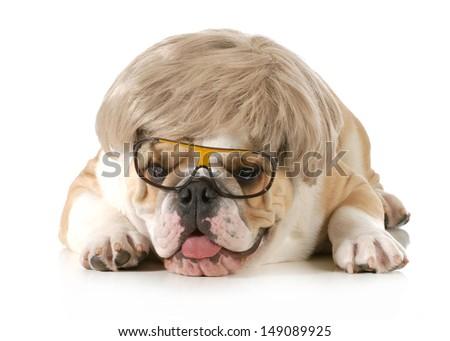 funny dog - english bulldog wearing silly wig and glasses isolated on white background - stock photo