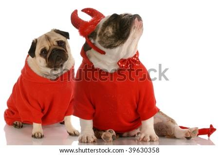 funny dog fight - bulldog dressed as devil ignoring pug - stock photo