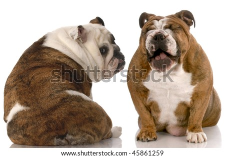 funny dog fight - english bulldog laughing at another with back to viewer - stock photo