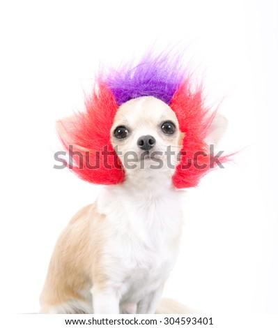 funny dog , hair style dog,afro hair style dog,sweet eyes - stock photo