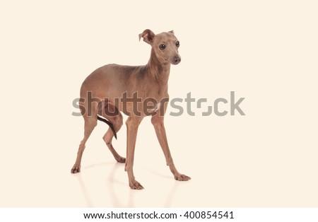 funny dog isolated over white background - stock photo