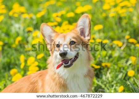 Funny dog muzzle Welsh Corgi with his tongue hanging out