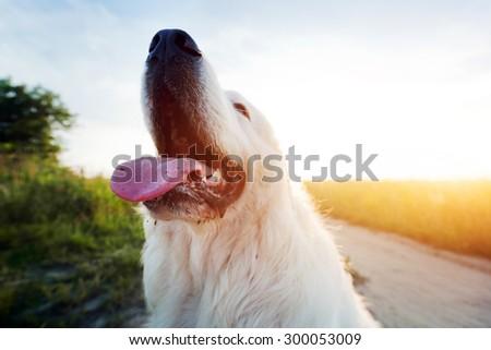 Funny dog on the field. Polish Tatra Sheepdog also known as Podhalan or Owczarek Podhalanski. Young adult - stock photo