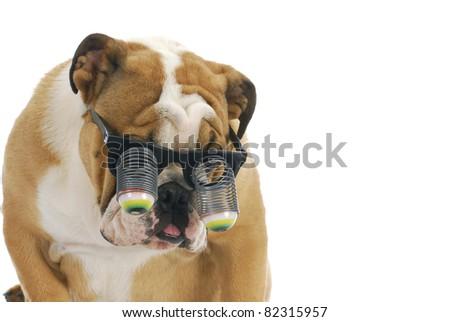 funny dog wearing glasses - english bulldog wearing silly google eye glasses on white background - stock photo