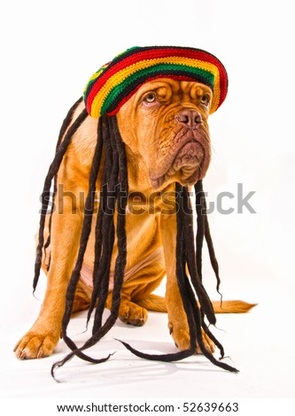Funny Dogue De Bordeaux in Rastafarian Hat with Dreadlocks - stock photo