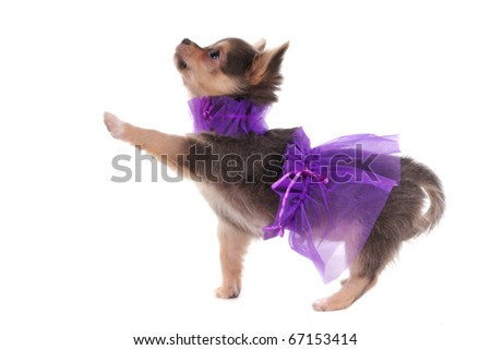 Funny Dressed Chihuahua marching with a paw up, isolated - stock photo