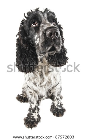 Funny drooling english cocker spaniel closeup isolated on white - stock photo