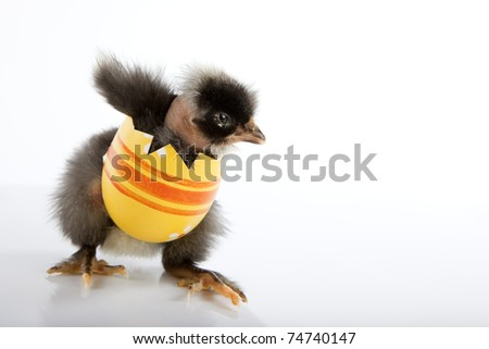 Funny Easter greeting concept. Black baby chicken, neck naked, trying to get out of yellow painted egg, walking and spreading its wings. High resolution image taken in studio, with reflection. - stock photo