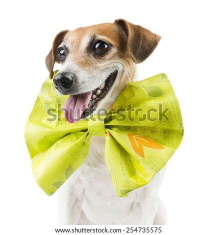 Funny elegant dog with a huge bright bow - stock photo
