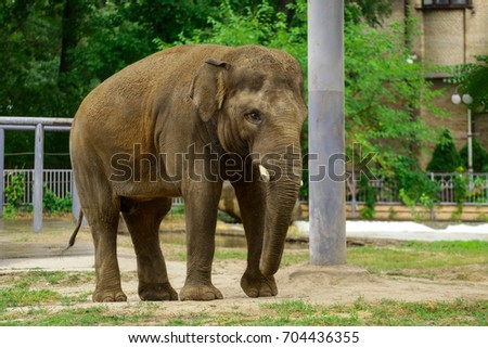 Funny elephant in the zoo.Background elephant