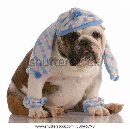 funny english bulldog dressed in winter hat scarf and leg warmers - stock photo
