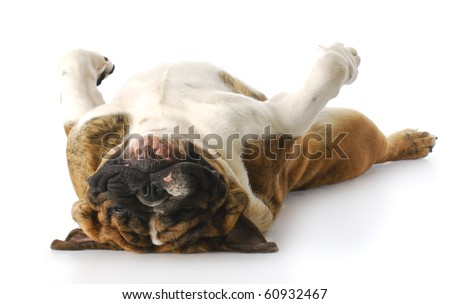 funny english bulldog laying down on back looking at viewer with reflection on white background - stock photo
