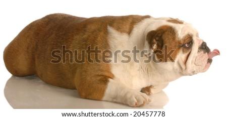 funny english bulldog laying down with tongue stuck way out - stock photo