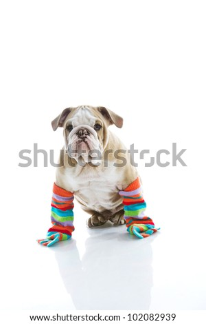 Funny English bulldog puppy in colourful socks isolated