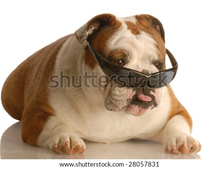 funny english bulldog wearing cool sunglasses with bad attitude - stock photo