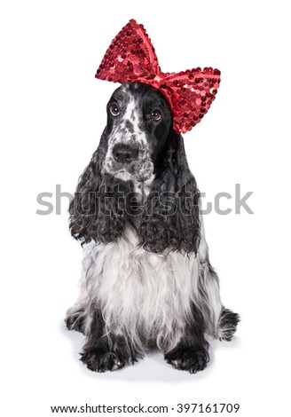 Funny english cocker spaniel dog with red bow on its head