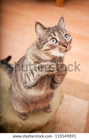 Funny european cat asking for a snack. - stock photo