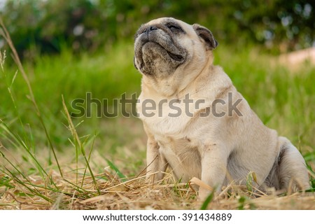 Funny face of fawn pug dog.(Fawn pug dog sitting on grass.) - stock photo
