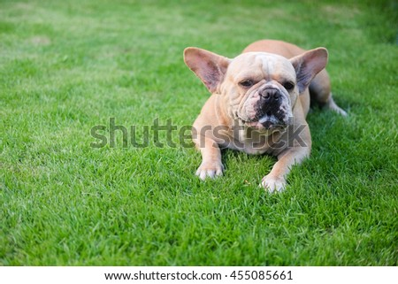 Funny face of french bulldog.(French bulldog waiting to eat dog snack on grass.)