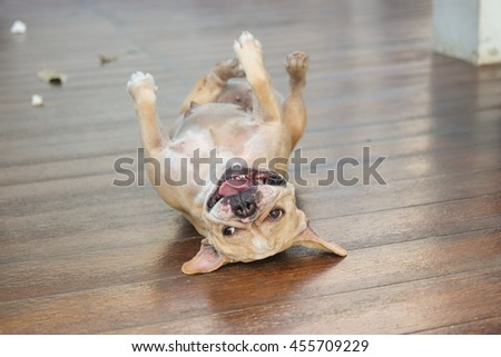 Funny face of french bulldog.(French bulldog waiting to eat dog snack on wooden floor.)