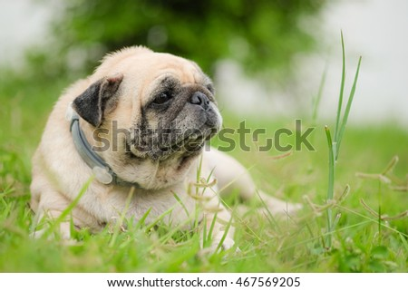 Funny face of pug dog.(Lazy fat pug dog laying on grass.)