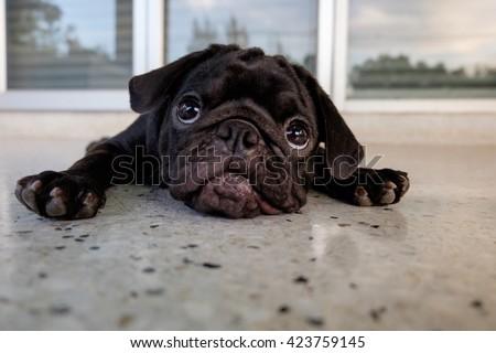 Funny face of pug dog.(Pug dog lying on marble floor.) - stock photo
