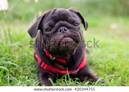 Funny face of pug dog.(Pug dog playing in grass field.) - stock photo
