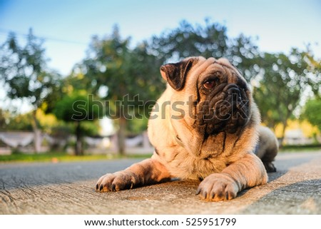 Funny face of pug dog with sunset light.