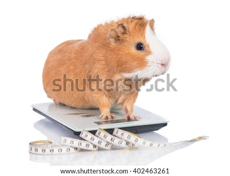 Funny fat guinea pig standing on the electronic scales