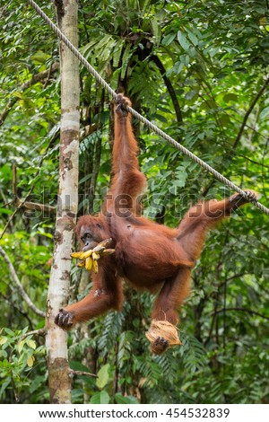 Funny female orangutan hanging on a rope with a banch of bananas and coconut in Semenggoh Nature Reserve, Sarawak, Borneo, Malaysia - stock photo