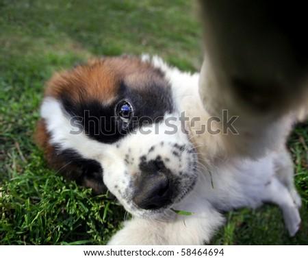 Funny Fisheye Perspective of a Saint Bernard Puppy Outdoors - stock photo
