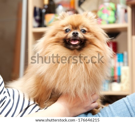 funny fluffy Pomeranian sits on hands at the mistress - stock photo