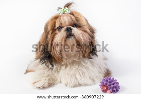 Funny fluffy Shih-tzu puppy girl - isolated on white - stock photo