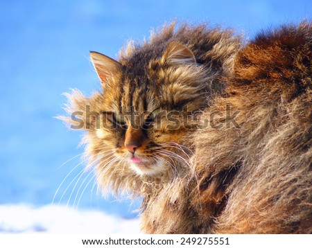 funny fluffy tabby cat shows tongue on a blue background - stock photo