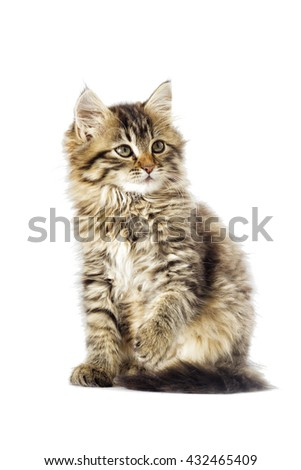 funny fluffy tabby kitten looking
